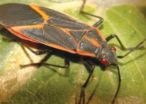 boxelder bugs central oregon