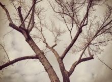 tree pruning - box elder