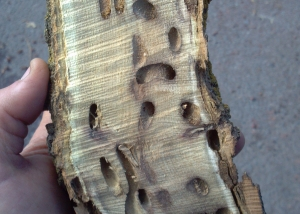 black locust borer in Bend