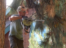 pine tree pruning bend