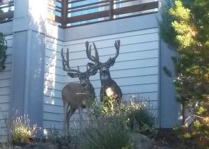 Deer Central Oregon