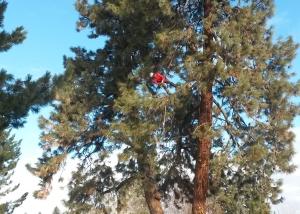 trimming pine tree