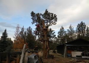 juniper tree removal