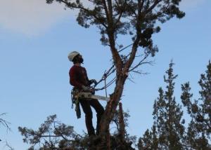 large juniper removal