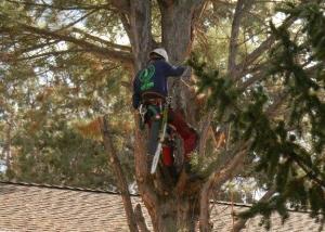 remove juniper tree