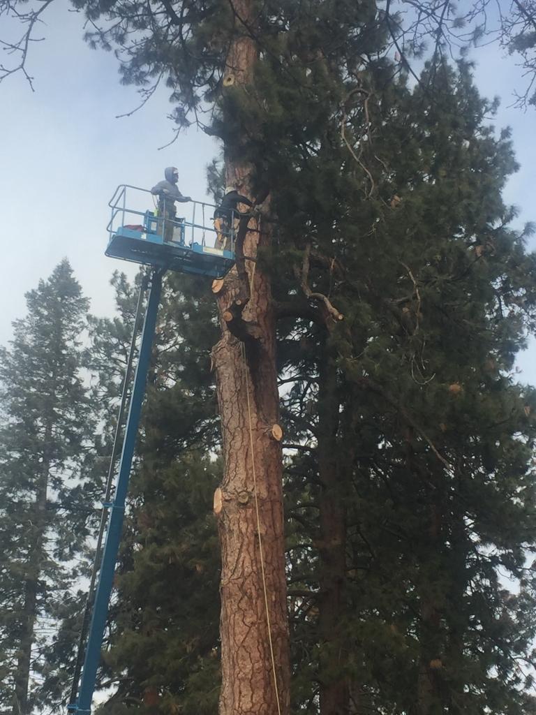 drake park tree