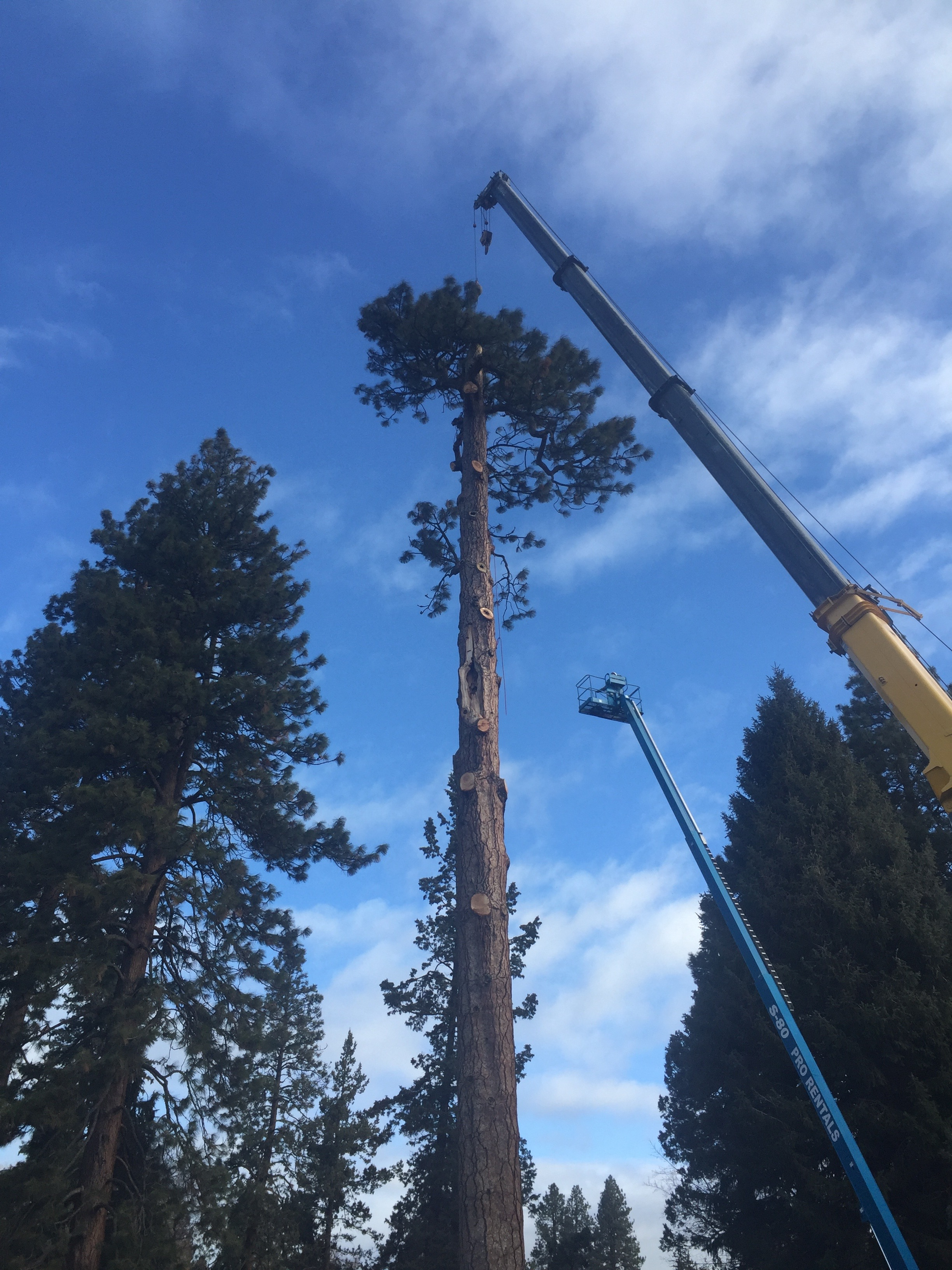 large pine tree removed bend oregon