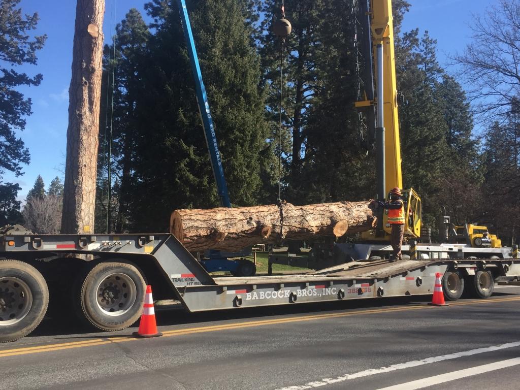 large pine log